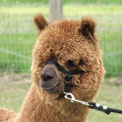 Fidelis of Genesis, future alpaca stud male